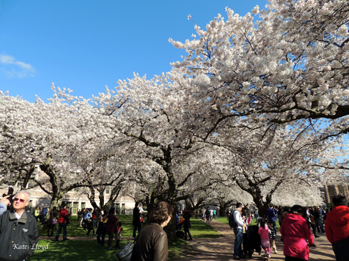 An abundance of blossoms and people!