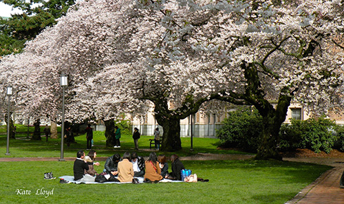 Traditional picnic under the cherry trees at U of W Campus.