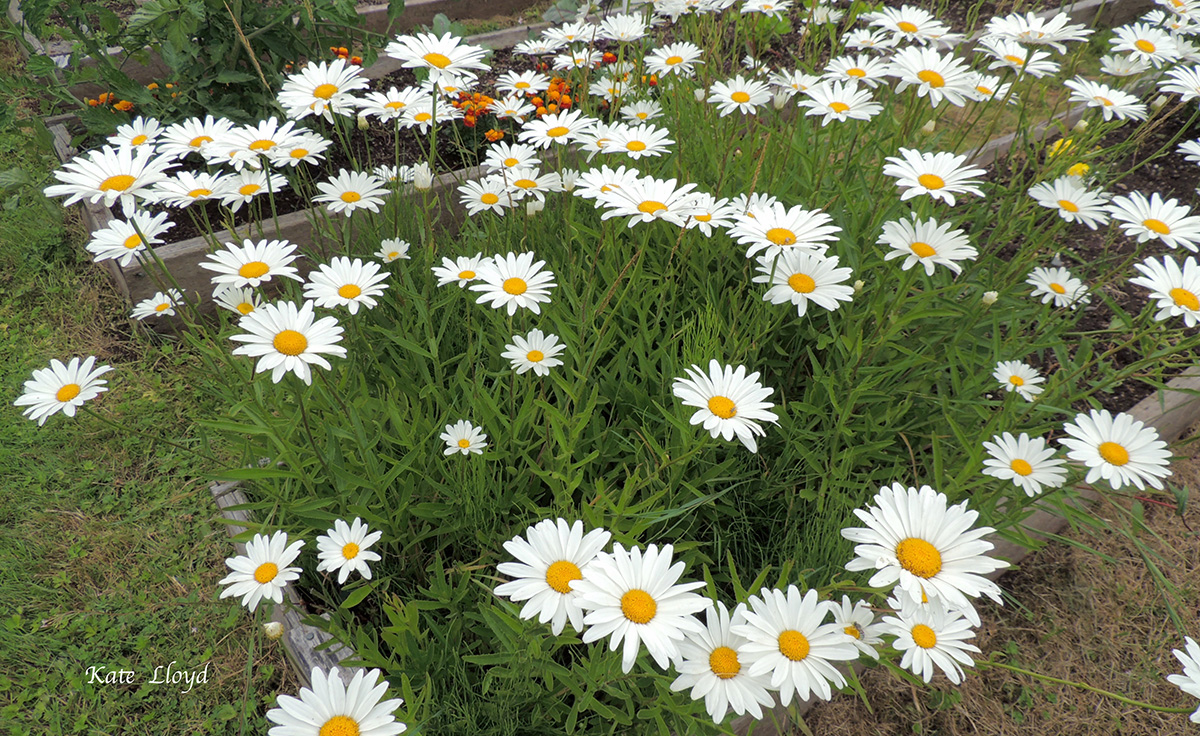 I find these daisies delightful too! No wonder I have trouble choosing a favorite.