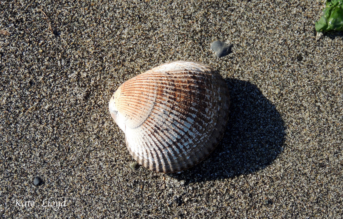 Clam shell on serene sand when tide's out.