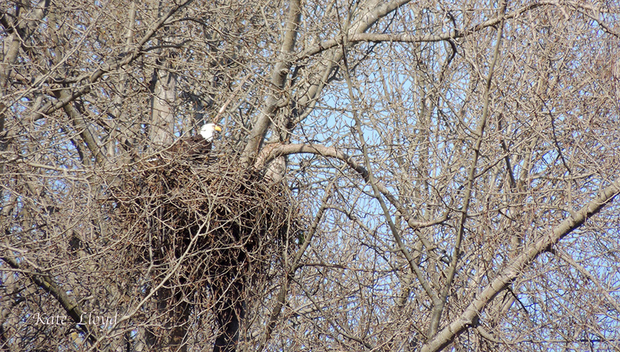 Every spring the eagles fortify their nest and patiently wait for eggs to hatch.