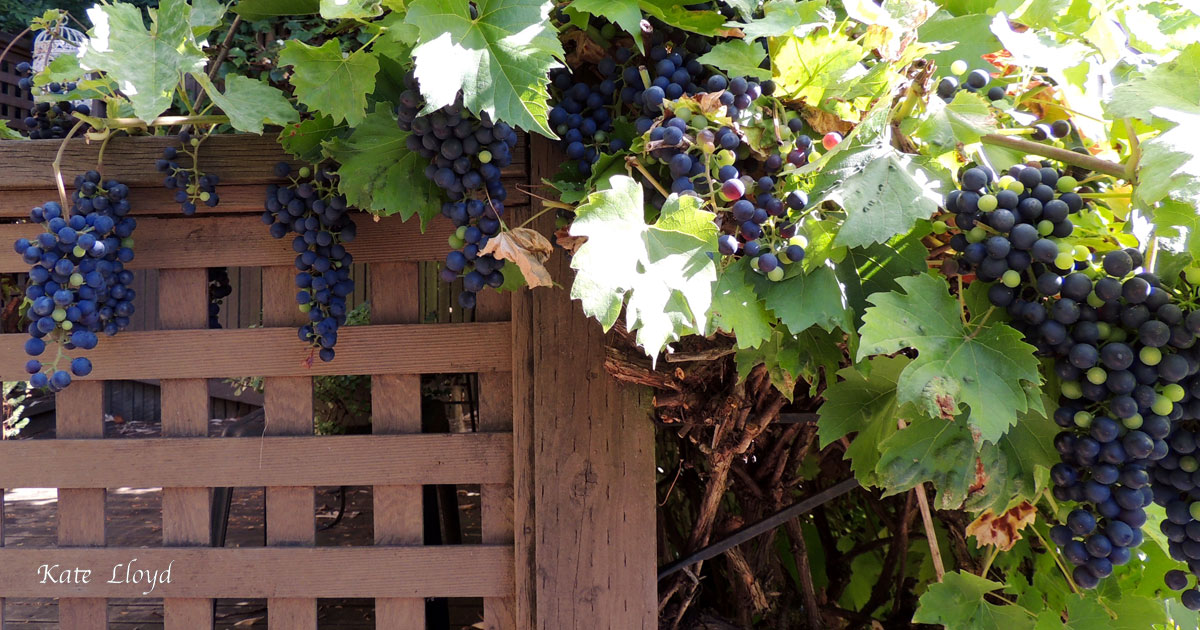 Our Cabernet grapes are ripening. Tart but delicious.