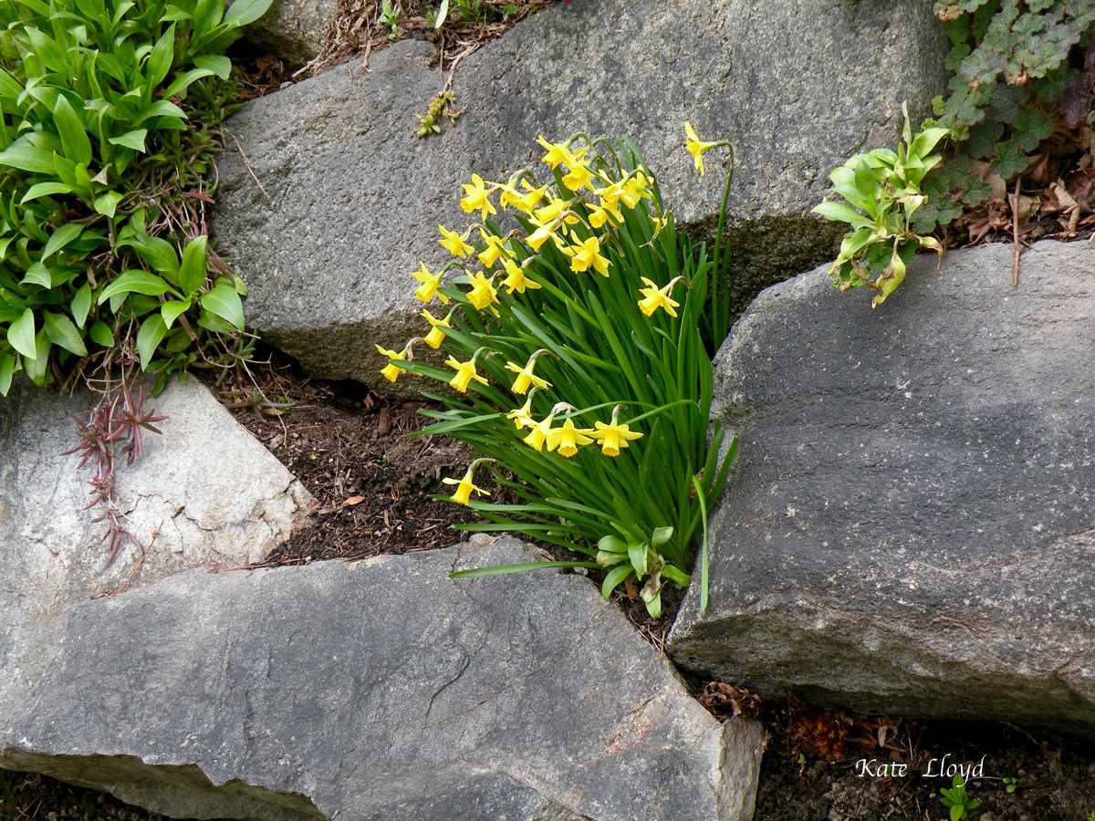 A lovely flash of yellow from early-blooming daffodils.