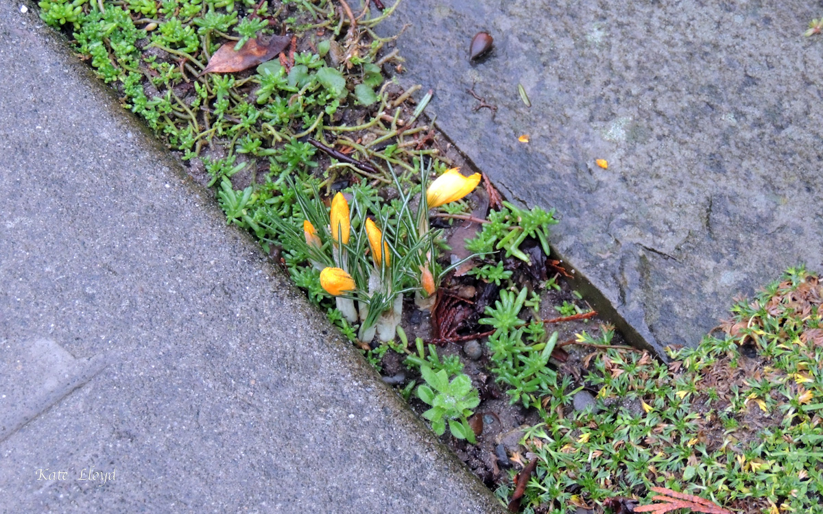 Tiny crocuses are appearing a neighbor's sidewalk