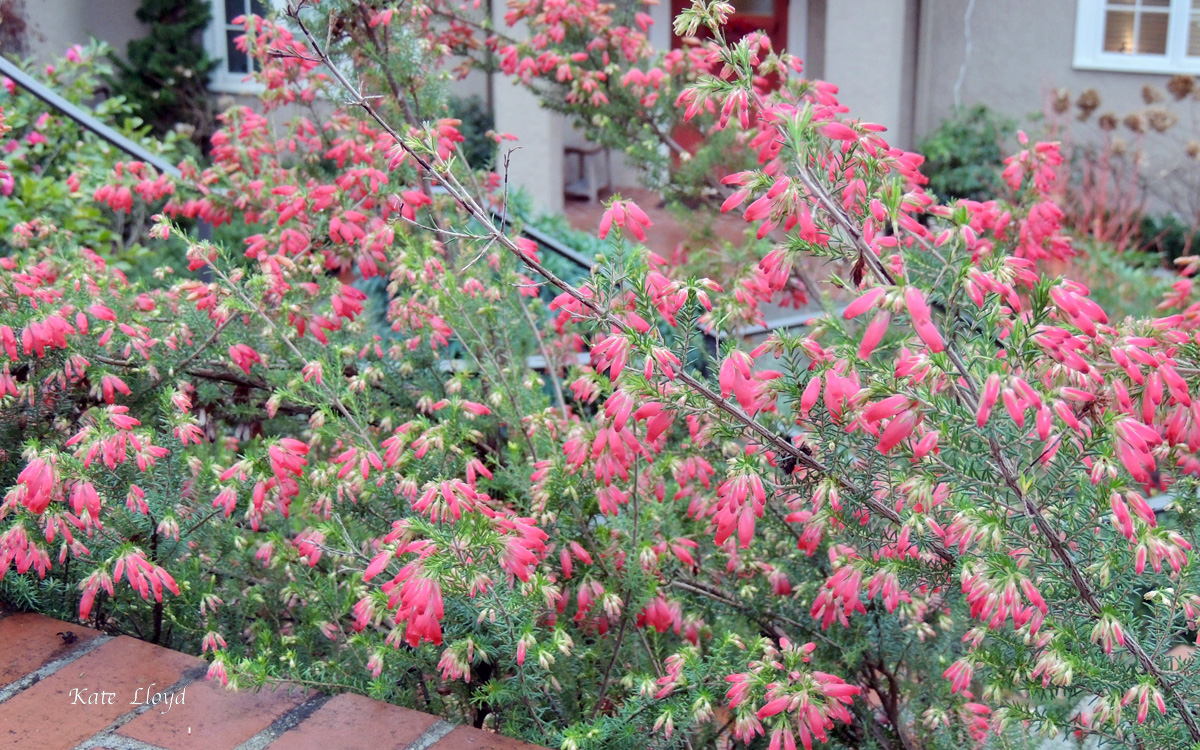 Our neighbor said this gorgeous plant is heather. Adore the color!