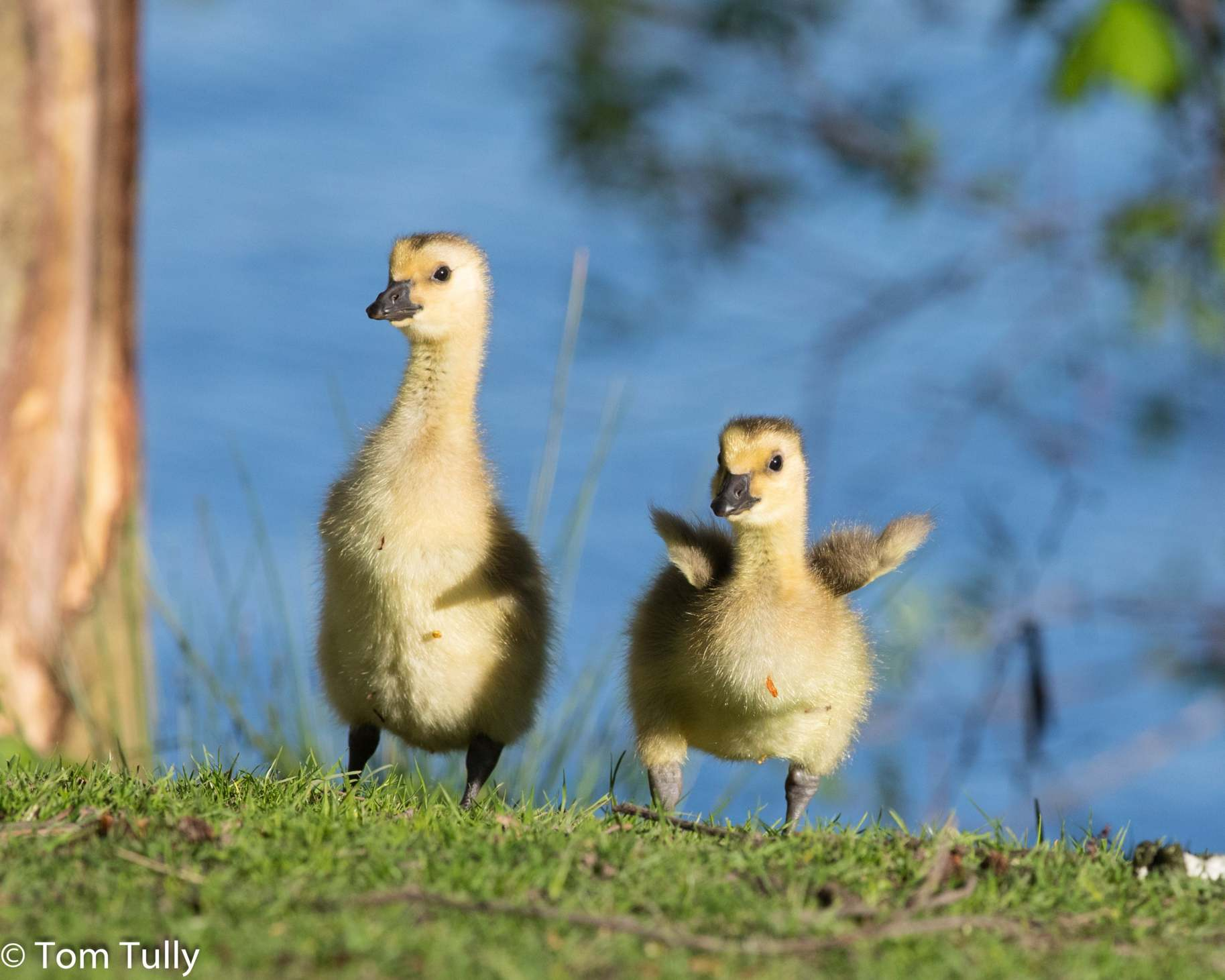 Cute ducklings! Thank you Tom Tully for sharing this image.