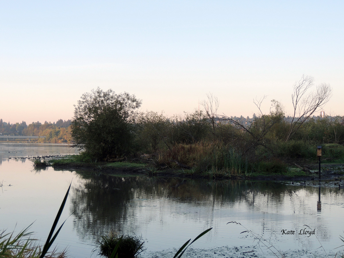 Marshy wetlands on Lake Washington are a sanctuary for birds.