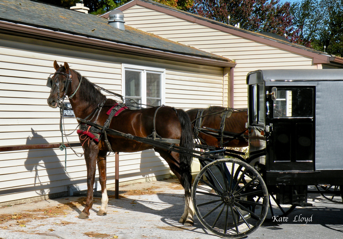 Did you know that many of the Amish buggy horses in Lancaster County are retired thoroughbreds or standardbreds?