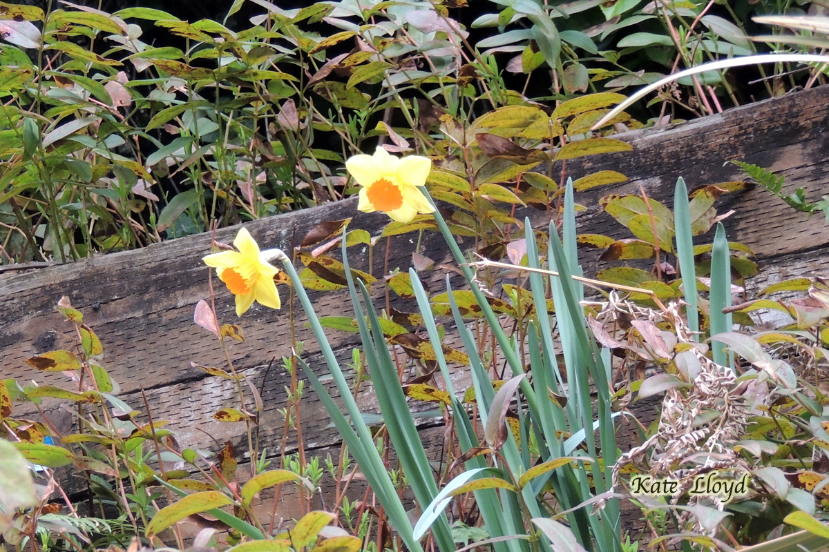 Fun to see daffodils popping up in other people's yards!
