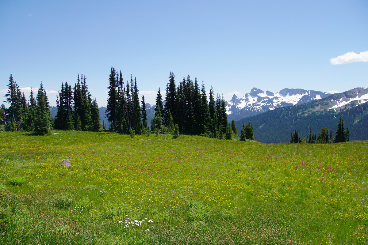 Meadow of wildflowers at Mt Rainier National Park