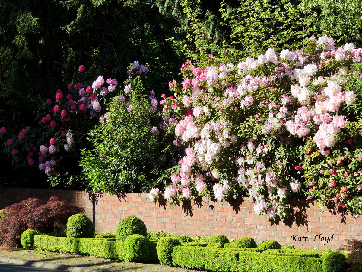 Gorgeous rhododendrons photographed by Kate Lloyd